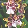 Puna_3_wildflower
